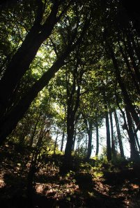 Deodar Forests